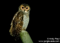strix seloputo. Spotted Wood-owl (strix seloputo).