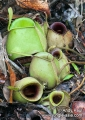 nepenthes ampullaria. Nepenthes ampullaria, one of the few low...