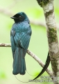 dicrurus remifer. Lesser Racket-tailed Drongo (dicrurus re...