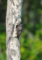 dendrocopos moluccensis. One of the smaller woodpeckers, the Sund...