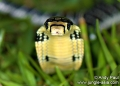 ophiophagus hannah (juvenile). The King Cobra (ophiophagus hannah) is t...