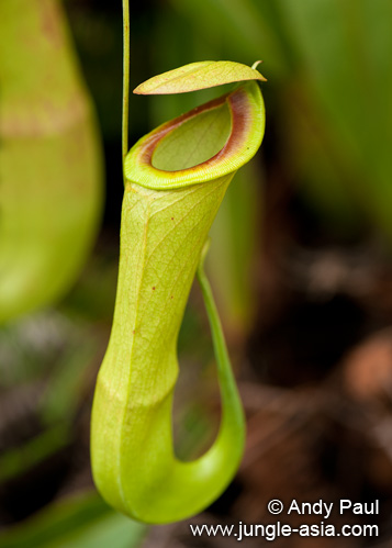 nepenthes mirabilis. Nepenthes mirabilis is a common and wide...