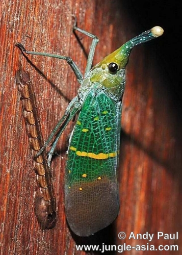 pyrops sp.. A Lantern Bug laying eggs. Although the ...