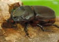 oryctes rhinoceros. The Asiatic Rhinoceros Beetle feeds on d...