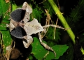 deroplatys lobata (female). The Malaysian Dead Leaf Mantis. When agi...