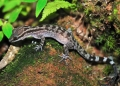 cyrtodactylus quadrivirgatus. The Marble Slender-toed Gecko or Marbled...