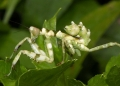 pseudocreobotra sp?. The Asian Flower Mantis is a master of c...