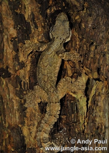 ptychozoon kuhlii. Kuhl's Gliding Gecko. These Gliding Geck...