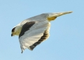 elanus caeruleus. Black-shouldered Kite in mid flight.