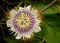 passiflora foetida. Passion flowers are appreciated not only...