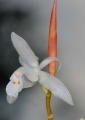 coelogyne stenochila. This small wild orchid with frosted glas...