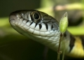 xenochrophis trianguligerus. Colorful and handsomely designed, the Tr...