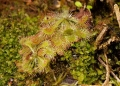 drosera sp.. The sundew is a carnivorous plant. It us...