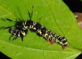 tinolius eburneigutta (caterpillar). The semi-looper caterpillar of a noctuid...