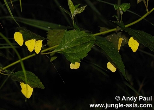 eurema blanda snelleni. Three-spot Grass Yellow butterflies sett...