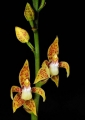 plocoglottis javanica. A terrestrial orchid found mainly in low...