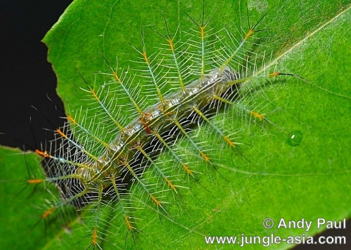 lexias pardalis dirteana (caterpillar). The caterpillar of an Archduke butterfly...
