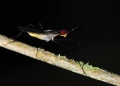 telostylinus sp.. The long-legged Banana Stalk Fly is a sa...