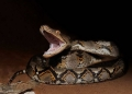 python reticulatus. A Reticulated Python in threat posture. ...
