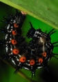 doleschallia bisaltide pratipa (caterpillar). Caterpillar of the Autumn Leaf butterfly...