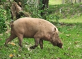 sus barbatus. The Bearded Pig has the largest head of ...