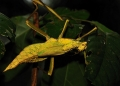 heteropteryx dilatata (female). A rare yellow Jungle Nymph. Females are ...