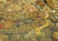 Gobies in a rock pool at Pulau Selangah ...