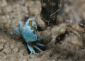 uca sp. (female). During low tide, hundreds of colorful Fi...