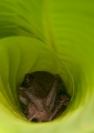 A bat roosting in a rolled up banana lea...