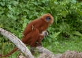 presbytis rubicunda. Adult female and juvenile Red Leaf Monke...