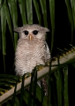bubo sumatranus (juvenile). Barred Eagle-Owl or Malay Eagle-Owl.