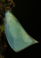 The translucent body of a Planthopper.