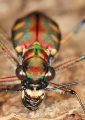 cicindela aurulenta. Tiger beetles vary in coloration and mar...
