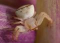 thomisus sp. Crab Spiders are ambush predators, there...