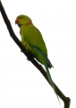psittacula krameri (male). This colorful Rose-ringed Parakeet was p...