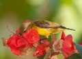 cinnyris jugularis (female). Female Olive-backed Sunbird.