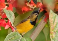 cinnyris jugularis (male). Male Olive-backed Sunbird.