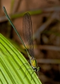 vestalis sp.. A beautiful damselfly of the genus Vesta...