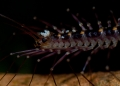 scutigera sp. A long-legged forest centipede with eggs...