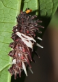 pachliopta aristolochiae asteris (caterpillar). Through metamorphosis, the caterpillar o...
