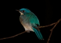 cyornis unicolor. A Pale Blue-flycatcher fluffs up its fea...