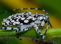A striking longhorn beetle photographed ...
