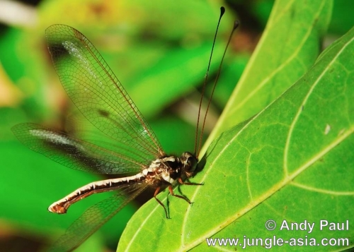 ululodes sp.. An Owlfly resting on a leaf is easily re...