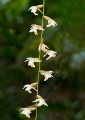 coelogyne sp.. Close up of the flowers. (see photo DSC_...