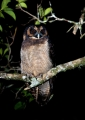strix leptogrammica. The nocturnal Brown Wood-owl feeds mainl...