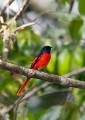 pericrocotus solaris (male). The attractive Grey-chinned Minivet look...