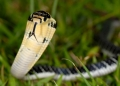 ophiophagus hannah (juvenile). The King Cobra is the world's longest ve...