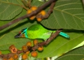 megalaima oorti. Black-browed Barbet.
