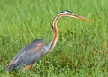 ardea purpurea. A solitary hunter, the Purple Heron stay...