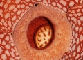 rafflesia cantleyi. A close-up photo of Rafflesia Cantleyi. ...